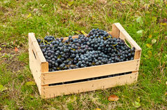 Cabernet Wine grapes in box Stock Images
