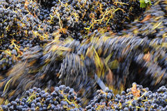 Cabernet wine grapes in the crusher. Churning Cabernet Sauvignon grapes in the winery crusher Stock Photos