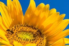 Cabeza amarilla brillante del girasol con la abeja que recoge el polen, primer Fotografía de archivo libre de regalías