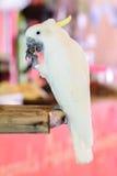Cabeza amarilla de la cacatúa en el parque zoológico Imágenes de archivo libres de regalías