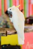 Cabeza amarilla de la cacatúa en el parque zoológico Foto de archivo
