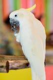 Cabeza amarilla de la cacatúa en el parque zoológico Imagen de archivo