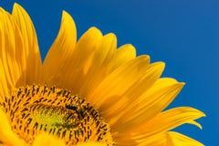 Cabeza amarilla del girasol con la abeja que recoge el polen y el cielo soleado azul del claro Fotos de archivo libres de regalías