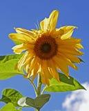 Cabeza amarilla gigante del girasol contra un cielo azul vibrante Foto de archivo libre de regalías