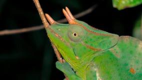 Cabeza ascendente cercana solamente del camaleón Tres-de cuernos que se sienta en el tronco de la rama en la noche fotos de archivo libres de regalías