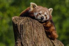 Cabeza ascendente cercana tirada de una panda roja, fulgens del ailurus foto de archivo
