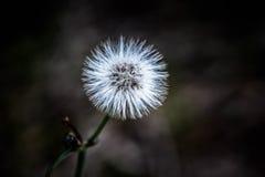 Cabeza blanca Australia del oeste de la semilla del diente de león Foto de archivo