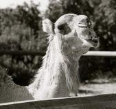 Cabeza blanco y negro del camello Foto de archivo
