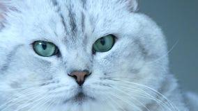 Cabeza británica del gato de la chinchilla almacen de metraje de vídeo