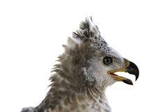 Cabeza coronada de Eagle en el fondo blanco Fotos de archivo libres de regalías