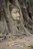 Cabeza de Buda embeded en baniano Foto de archivo libre de regalías