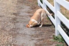 Cabeza de Burries del perro en arena Imagenes de archivo