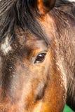 Cabeza de caballo Imagen de archivo libre de regalías