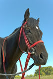 Cabeza de caballo Imagen de archivo