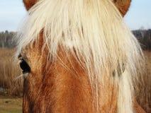 Cabeza de caballo 52 Imagen de archivo