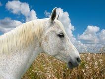 Cabeza de caballo blanco Foto de archivo