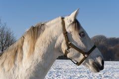 Cabeza de caballo blanco Foto de archivo libre de regalías