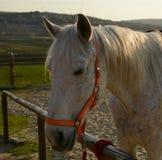 Cabeza de caballo blanco hermosa en un primer del rancho Foto de archivo