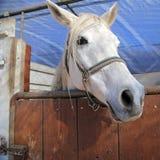 Cabeza de caballo blanco - Italia Fotos de archivo