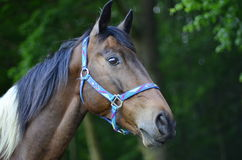 Cabeza de caballo cuarta Foto de archivo
