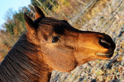 Cabeza de caballo de Brown Fotos de archivo