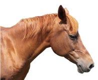 Cabeza de caballo de Brown en el fondo blanco Fotografía de archivo libre de regalías