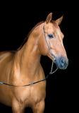 Cabeza de caballo de la castaña aislada en negro, caballo de Don Foto de archivo libre de regalías