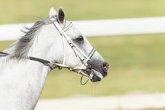 Cabeza de caballo de raza Imagenes de archivo