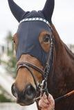 Cabeza de caballo de raza con las orejeras Área del prado Imagen de archivo libre de regalías