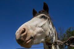 Cabeza de caballo del mustango Foto de archivo libre de regalías