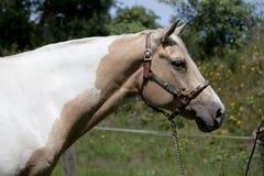 Cabeza de caballo del Palomino Imágenes de archivo libres de regalías