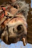 Cabeza de caballo divertida en un primer del rancho Fotos de archivo libres de regalías