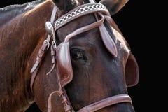 Cabeza de caballo en el freno aislado Foto de archivo libre de regalías
