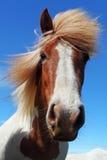 Cabeza de caballo en Islandia Imagen de archivo