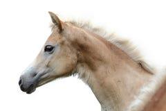 Cabeza de caballo en un fondo blanco Foto de archivo