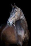Cabeza de caballo negra aislada en negro, caballo de Ahal-teke Fotografía de archivo libre de regalías