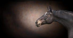 Cabeza de caballo negra hermosa en fondo oscuro Imagen de archivo