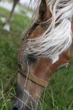 Cabeza de caballo que come la hierba Foto de archivo