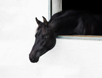 Cabeza de caballo que mira hacia fuera la ventana. Fotos de archivo libres de regalías