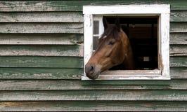 Cabeza de caballo que se pega fuera de granero Fotografía de archivo libre de regalías