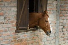 Cabeza de caballo que se pega fuera de ventana del establo del ladrillo Imagenes de archivo