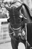 Cabeza de caballo de raza con los intermitente Área del prado Foto de archivo libre de regalías