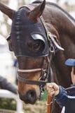 Cabeza de caballo de raza con los intermitente listos para correr Área del prado Imagen de archivo libre de regalías