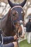 Cabeza de caballo de raza lista para correr Área del prado Imagen de archivo libre de regalías