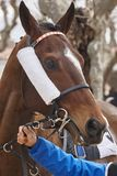 Cabeza de caballo de raza lista para correr Área del prado Foto de archivo libre de regalías