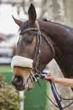 Cabeza de caballo de raza lista para correr Área del prado Foto de archivo