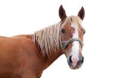 Cabeza de caballo rubia Imágenes de archivo libres de regalías