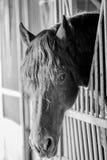 Cabeza de caballo sobre el establo con las barras metálicas Fotos de archivo libres de regalías