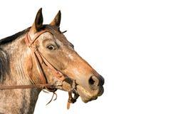 Cabeza de caballo un caballo cuarto Fotografía de archivo