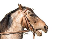 Cabeza de caballo un caballo cuarto Imagenes de archivo